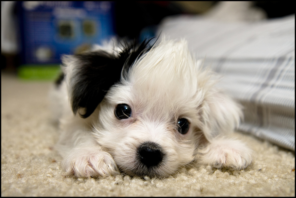The Daily Clog » Maltese poodle