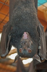 bat tongue