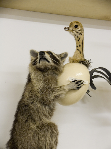 It's a raccoon. Stealing an ostrich egg.